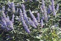 Immagine del primo piano dei fiori dell'albero del pepe fotografie stock