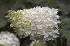 Immagine del primo piano dei fiori Panicled dell'ortensia immagine stock libera da diritti