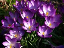Immagine del primo piano dei fiori porpora e bianchi del croco fotografia stock