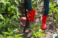 Immagine del primo piano dei piedi femminili in stivali di gomma rossi che scavano il suolo del giardino con la pala Immagine Stock Libera da Diritti