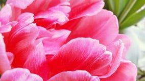 Immagine del primo piano del fiore lanuginoso rosa luminoso del tulipano fotografia stock libera da diritti