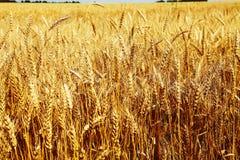 Immagine del primo piano del giacimento di grano Fotografie Stock