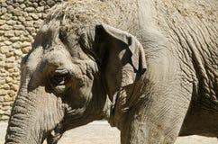 Immagine del primo piano dell'elefante asiatico Immagini Stock