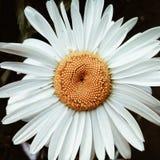 Immagine del primo piano della camomilla delicata bianca fotografia stock