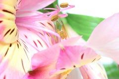 Immagine del primo piano di alstroemeria Fotografie Stock Libere da Diritti