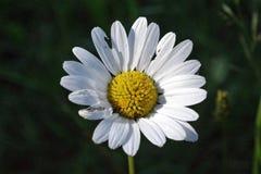 Immagine del primo piano di un fiore comune del prato fotografia stock libera da diritti