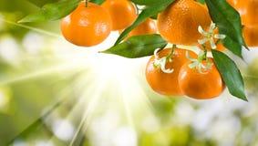 Immagine del primo piano dolce maturo del mandarino immagine stock