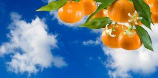 Immagine del primo piano dolce maturo del mandarino fotografia stock