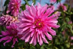 Immagine del primo piano del fiore della dalia colorata nel rosa luminoso fotografia stock