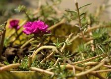 Immagine del primo piano del fiore rosa fotografie stock