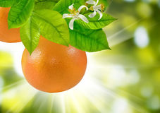 immagine del primo piano maturo dell'arancia dolce Fotografie Stock