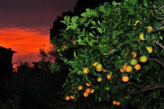 Immagine del primo piano maturo dell'arancia dolce al tramonto Fotografia Stock