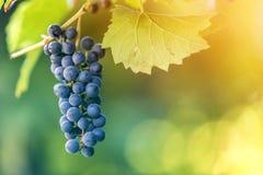 Immagine del primo piano del ramo della vite con le foglie verdi ed il mazzo maturo blu scuro isolato dell'uva accesi dal sole lu immagine stock