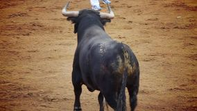 Immagine del toro di combattimento dalla spagna. toro nero stock footage