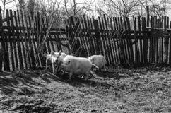 Immagine del villaggio con i maiali fotografia stock