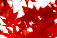 Immagine deliberatamente vaga dell'acer japonicum rosso delle foglie di autunno fotografia stock libera da diritti