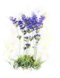 Immagine dell'acquerello dei fiori della lavanda Fotografia Stock Libera da Diritti