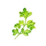 Immagine dell'acquerello delle foglie di prezzemolo su fondo bianco Fotografia Stock
