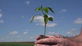 Immagine dell'agricoltore che tiene a disposizione studiare ed osservare un piccolo e una plantula stock footage