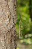 Immagine dell'insetto di bastone gigante del Siam sull'albero sul fondo della natura I Immagini Stock Libere da Diritti
