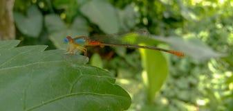 Immagine dell'insetto osservato blu della libellula in un giardino/foresta con fondo vago immagine stock libera da diritti