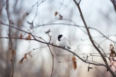 Immagine dell'uccello adorabile del capezzolo della palude che si siede sul ramo nella foresta di inverno immagini stock