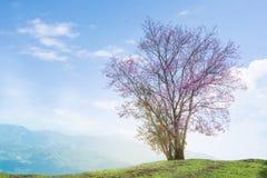 Immagine della collina himalayana selvaggia di Cherry Tree Alone On The, pittura ad olio Immagini Stock Libere da Diritti