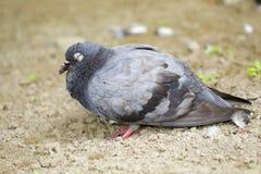 Immagine della colomba che sta sulla terra Fotografia Stock Libera da Diritti