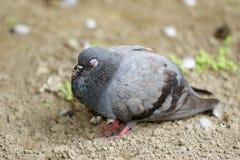 Immagine della colomba che sta sulla terra Immagini Stock