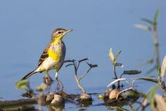Immagine della cutrettola orientale dell'uccello Immagini Stock