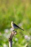 Immagine della cutrettola orientale dell'uccello Immagini Stock Libere da Diritti