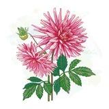 Immagine della dalia rosa del fiore Fotografia Stock Libera da Diritti