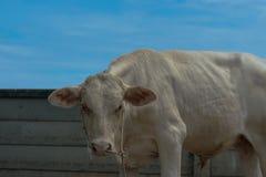 Immagine della mucca sotto il cielo, Immagini Stock Libere da Diritti