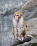 Immagine della scimmia Immagini Stock Libere da Diritti