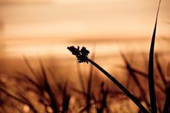 Immagine della siluetta dell'erba del mare Immagine Stock Libera da Diritti