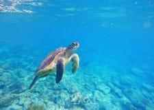 Immagine della tartaruga di mare verde per il modello o il manifesto dell'insegna con il posto del testo Fotografie Stock