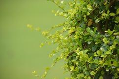 Gocce della pioggia sull'arbusto della foglia Immagine Stock Libera da Diritti