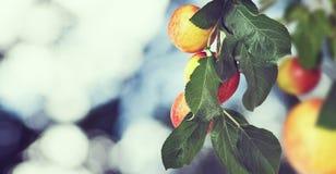 Immagine delle mele dolci sull'albero, fotografie stock libere da diritti