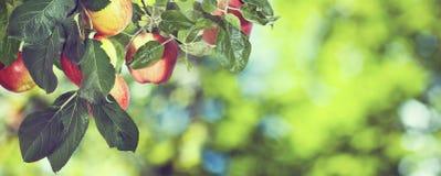 Immagine delle mele dolci sull'albero, fotografia stock