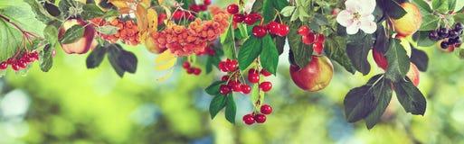 Immagine delle mele e delle ciliege dolci su un albero, fotografia stock
