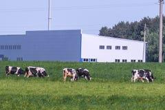 Immagine delle mucche pascute Fotografia Stock Libera da Diritti