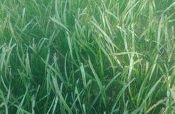 Immagine delle piante acquatiche Fotografia Stock Libera da Diritti