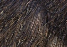 Immagine delle piume dell'emù Fotografia Stock Libera da Diritti