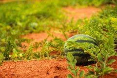 Immagine di agricoltura del Vietnam vicino alla spiaggia di Mui Ne ed al canyon rosso Fotografia Stock Libera da Diritti