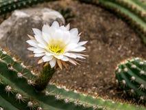 Immagine di bei fiori del cactus, colpo ai giardini botanici reali, Kew fotografia stock libera da diritti