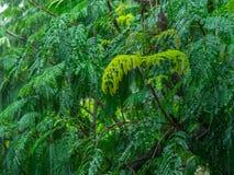 Immagine di bello albero in pioggia persistente, colpo vicino, colpo in Mumbai fotografia stock libera da diritti