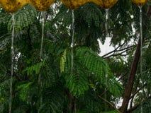 Immagine di bello albero in pioggia persistente, colpo vicino, colpo in Mumbai fotografia stock