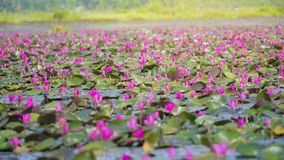 Immagine di bello fiore di loto Immagine Stock