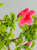Immagine di bello fiore rosa dell'ibisco in pioggia persistente, colpo vicino fotografia stock libera da diritti