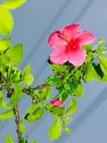 Immagine di bello fiore rosa dell'ibisco in pioggia persistente, colpo vicino immagini stock libere da diritti